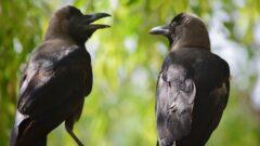 due corvi